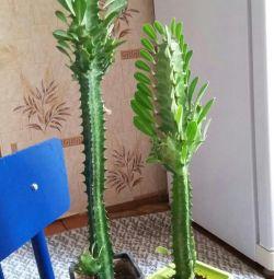 Flori (Cacti)