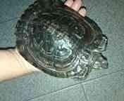 Большая и ручная черепаха.