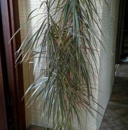 Dracaena palmiye bitki (bir tencerede çiçek)