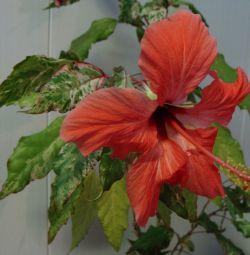 Hibiscus Cooper