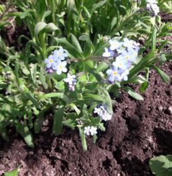 Садовые цветы-многолетники-незабудки