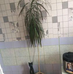 Dracaena Tree with pot
