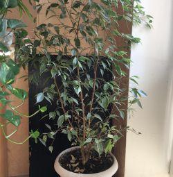 Ficus 1m 30 cm