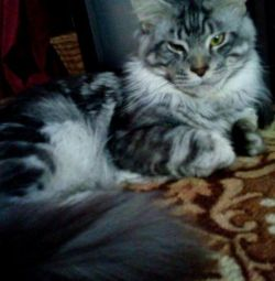 Maine coon knitting