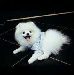 Puppies Pomeranian poartă Spitz