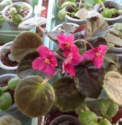 Violets varietal-leaf, kids blooming