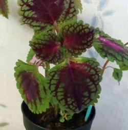 Indoor flower, Koleos. Two species.