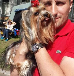 Yorkshire terrier puppies with documents, baby