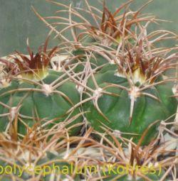 Продаж сіянців кактусів