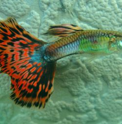Guppy akvaryum balıkları karanfil.