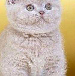 British Barney kitten