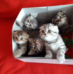 кошенята шотландські