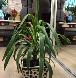 Iucca de palmier