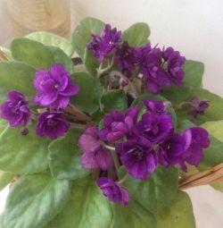 Violet-adult planta cu flori