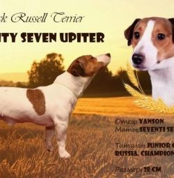 Jack Russell Mating and Puppies