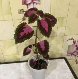 Coleus Indoor Flower