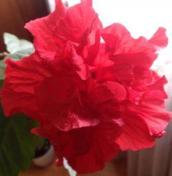 Hibiscus (trandafir chinez)