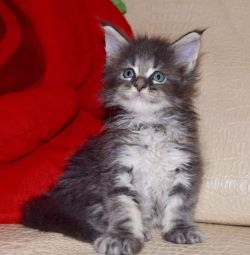 Maine Coon Girl