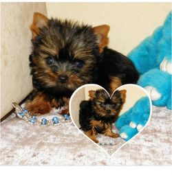 Boys and girls of the Yorkshire Terrier