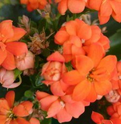 Kalanchoe Blossfelda Terry πορτοκαλί
