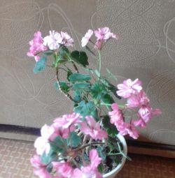 o floare