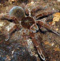large spider-tarantulas GOLIAF