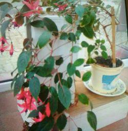 Room flower. Fuchsia.
