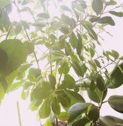 Ficus maclame