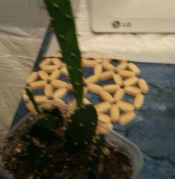 Indoor Flowers Cactus