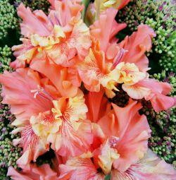 Gladioli, kids of collection grades