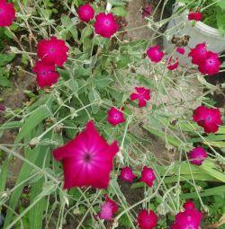 Растения садовые.