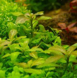 Hygrophilus Polysperm Aquarium Plant