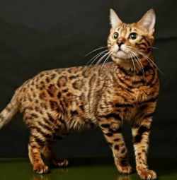Leopard cat for you
