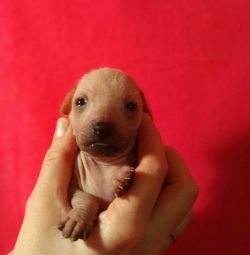 Mexican Bare Dog Puppies