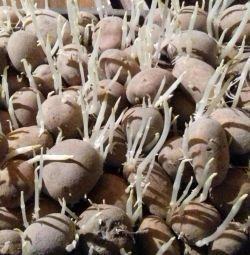 Tohum patates
