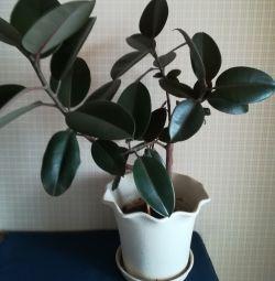 Ficus rubbery