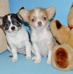 Chihuahua boys and girls