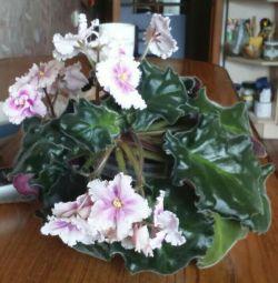 Violets και άλλα λουλούδια,