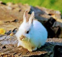 карликовий крольченок