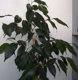 Дерево фікус Бенджамін 85 см заввишки офіс і будинок