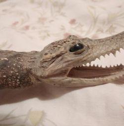 Effigy of a real crocodile