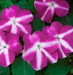 Кімнатний квітка бальзамін