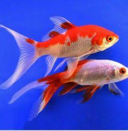 Золоті риби