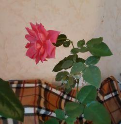 Trei trandafiri în vase ...