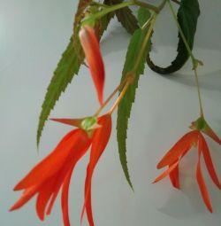 Begonia Bolivian