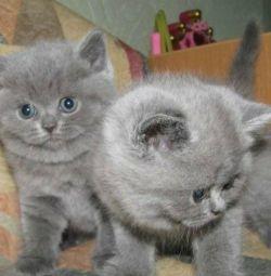 Şık İngiliz yavru kedi