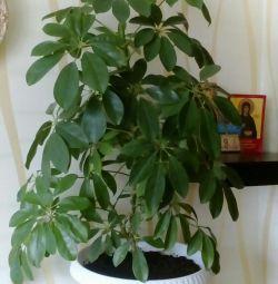 House Plant - Sheflera