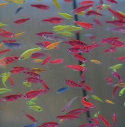 Аквариумные рыбки Данио Гло