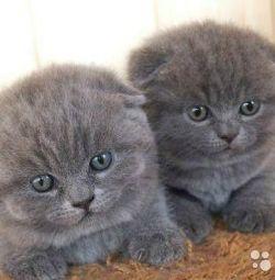Вислоушки котятки