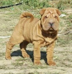 Sharpei and minipes of different colors